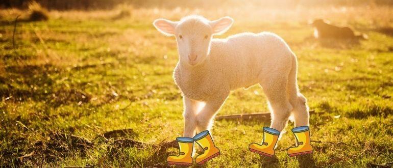 Kuzunun ayakkabısı